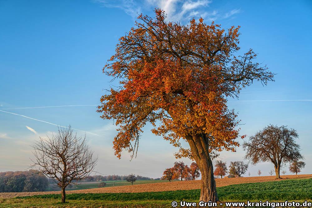 Alte Obstbäume auf einem Feld bei Hasselbach