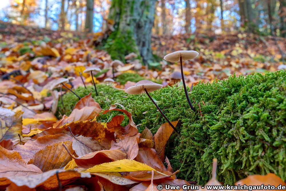 Pilze im Wald bei Neckarbischofsheim
