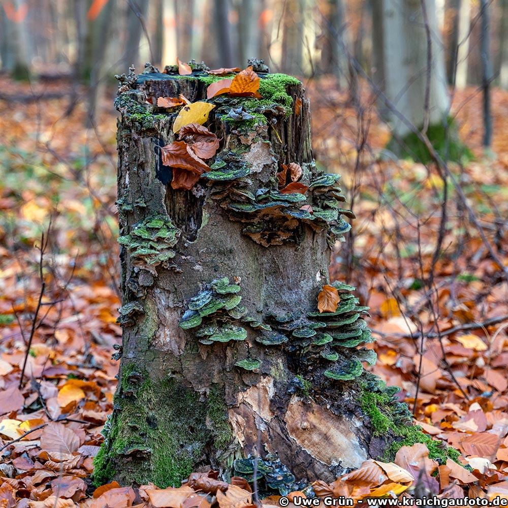 Pilze im Wald beim Salinenpark Bad Rappenau