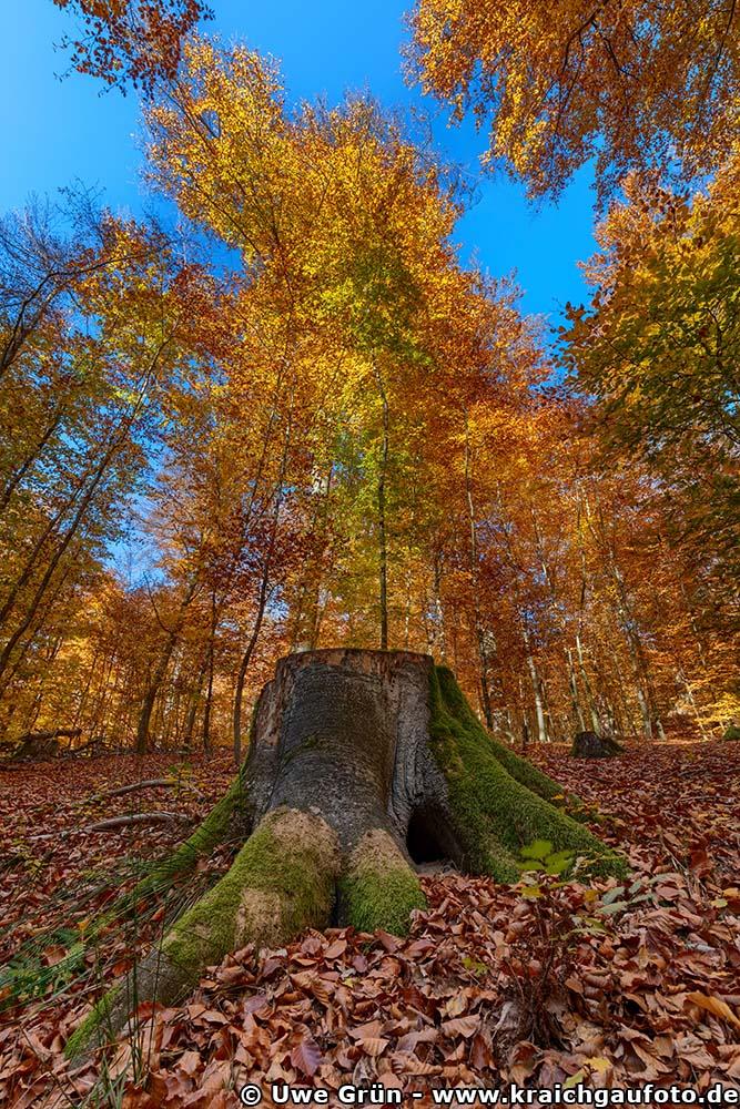 Bemooster Baumstumpf im Herbstwald